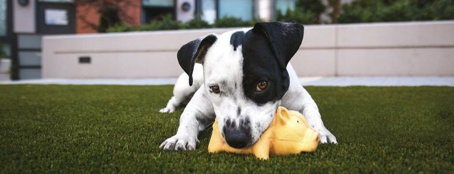 Dog chewing on a yellow chew toy.